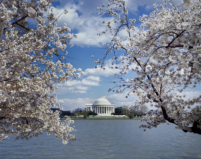 CHERRY BLOSSOMS IN WASHINGTON D.C. BUS 1